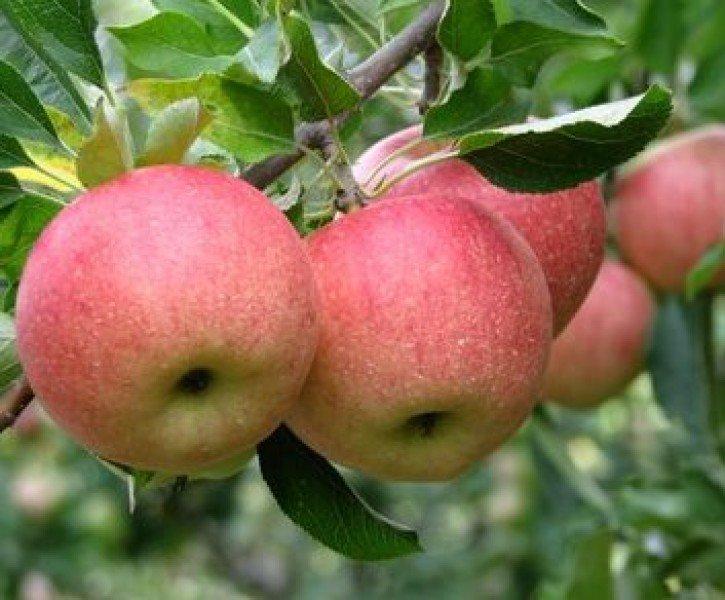 Купить Яблоки / Aplle