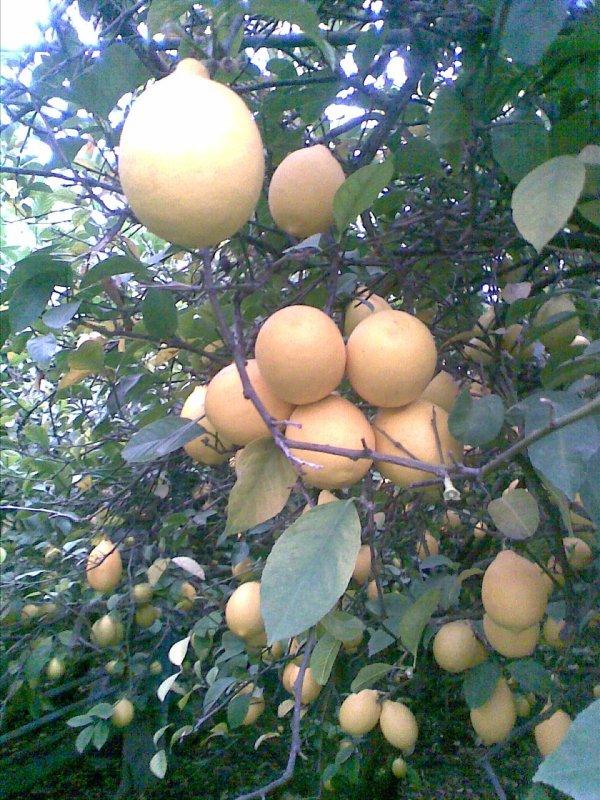 Купить Лимоны свежесорванные, сорт мейер таджикский, разного размера, высокого качества