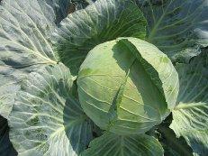 Капуста оптом, урожай 2012 года