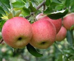 Яблоки / Aplle