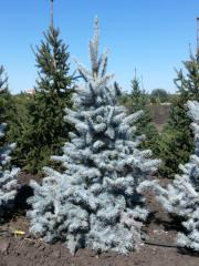 Blue Tian-shansky spruce and other coniferous