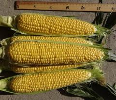 Семена сладкой кукурузы Драйвер F1 от фирмы HM&Clause