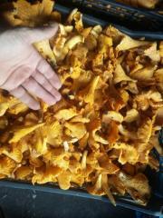 Принимаем заказы на заготовку грибов лисичку и сморчок.